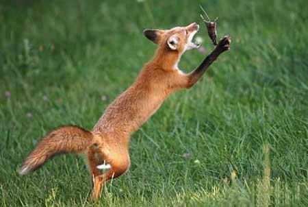عکسهای جذاب,روباه,تصاویر دیدنی