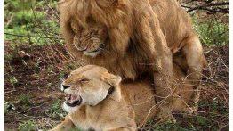عکس های جفت گیری حیوانات animal joft giri (2)