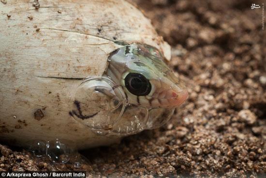 لحظه به دنیا آمدن یک مار