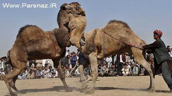 عکس هایی از تفریح عجیب مردم افغانستان برای سرگرمی