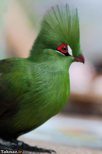 پرنده فشن با ظاهری بسیار زیبا (+ تصاویر)