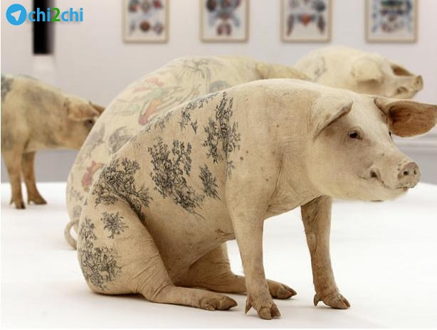 خالکوبی کردن خوک های یک سرگرمی شده است + عکس