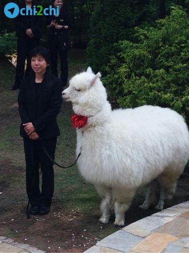 شتر بانمک در نقش ساقدوش عروس و داماد + عکس