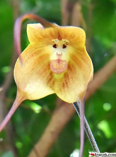 ارکیده میمون در ژاپن