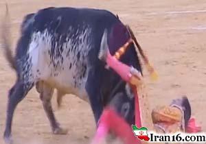 لحظه دلخراش فرو رفتن شاخ گاو نر به سینه گاوباز حرفهای! / فیلم