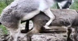 جفت گیری حیوانات