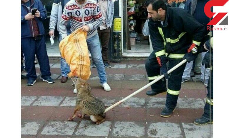 ماموران شهرداری تهران شغال سرما زده را آنقدر زدند تا دستش شکست و …
