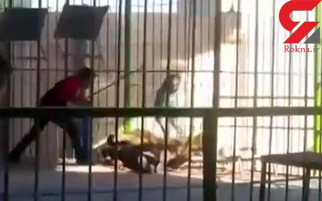 شیر مربی سیرک را در مقابل چشم تماشاچیان تیکه پاره کرد+ فیلم لحظه حادثه