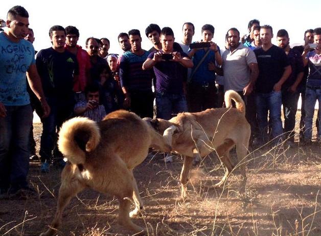 نبرد خونین سگ های گلادیاتور در باغ کردان+تصاویر