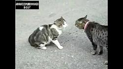 جفت گیری خنده دار گربه ها