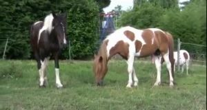 حیوانات جفت گیری اسب جفت گیری