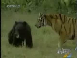 جفت گیری حیوانات خرس سیاه و ببر بنگال