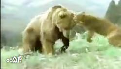 جنگ خرس و شیر
