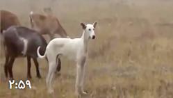 شکار گراز وحشی با سگ و سلاح- 2 جفت گیری حیوانات
