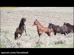نبرد تماشایی اسب های وحشی موستانگ در بیابان های آمریکا