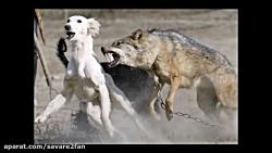 جدال وحشیانه گرگ و سگ
