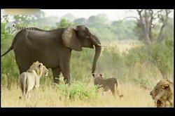 حمله فیل ماده به گله شیرها برای حفظ جان بچه اش