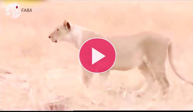 حمله چیتا به شیر ماده برای دفاع از توله هایش