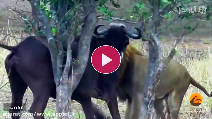 شکار تماشایی بوفالو توسط شیر