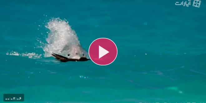 شکار پرنده در حال پرواز توسط ماهی