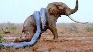 صحنه نادر شکار فیل توسط مار غول پیکر