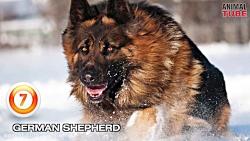 Top 10 قوی ترین سگ های جهان 2017