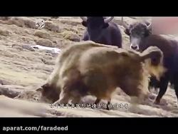 نجات گوساله توسط گاومیش از دندان های پلنگ برفی