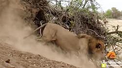 شکار پلنگ توسط شیر سلطان جنگل