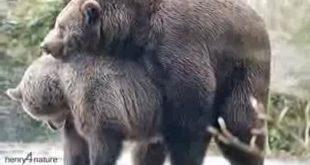 جفتگیری خرس خاکستری