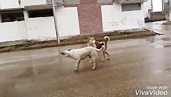دعوای سگ ها سر جفت گیری