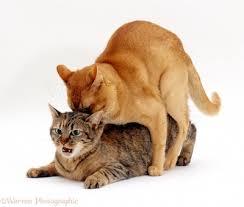 جفت گیری گربه ها