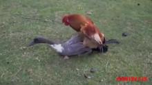 جفتگیری خروس و اردک