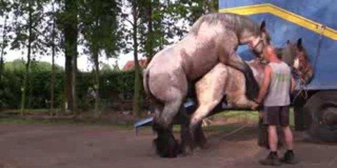 جفت گیری اسب با اسب