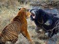 دوئل مرگبار حیوانات در حیات وحش + فیلم (18+)