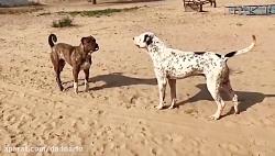 نبرد خونین دو سگ وحشی
