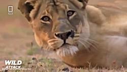 مستند حیات وحش شیرها