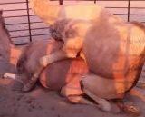 جفت گیری شتر   Camel Mating