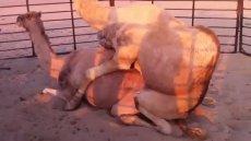 جفت گیری حرفه ای شتر Camel Mating