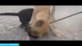 جنگ و نبرد دیدنی بین سگ های وحشی/