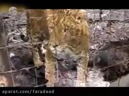 جگلاین؛ گربه بی نظیر حاصل جفت گیری جگوار و شیر