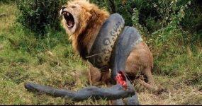 نبرد مرگ و زندگی مار آناکوندا و شیر (حیات وحش) گاومیش حمله حیوانات وحشی