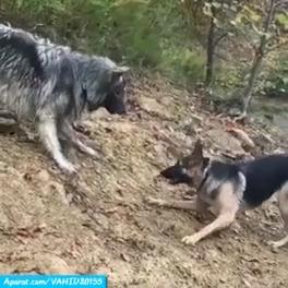 سگ های وحشی