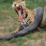 نبرد مرگبار مار آناکوندا و پلنگ حیات وحش - حیوانات وحشی (شیر و گاومیش و کفتار)