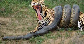 نبرد مرگبار مار آناکوندا و پلنگ حیات وحش – حیوانات وحشی (شیر و گاومیش و کفتار)