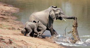 فرار بزرگ یک فیل از تمساحی سمج