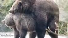 جفت گیری خرس های گریزلی