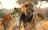 جنگ شیرها و کفتارها, حیوانات وحشی, شیر, کفتار, مشتند حیات وحش