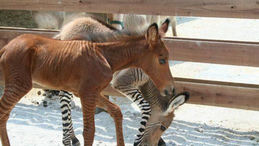 zonkey-zorse-camel
