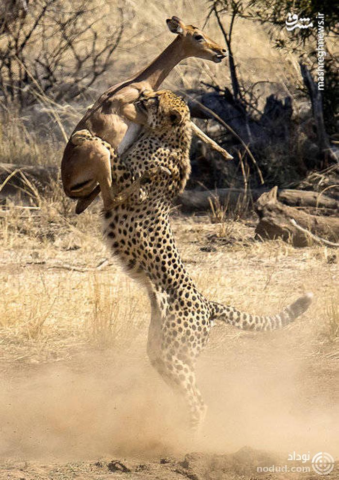لحظه شکار یوزپلنگ