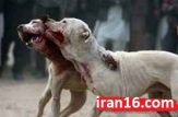 جنگ خونین سگ های وحشی + تصاویر 14+